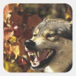 Lobo (lupus de Canis) que gruñe, headshot, con Calcomania Cuadradas