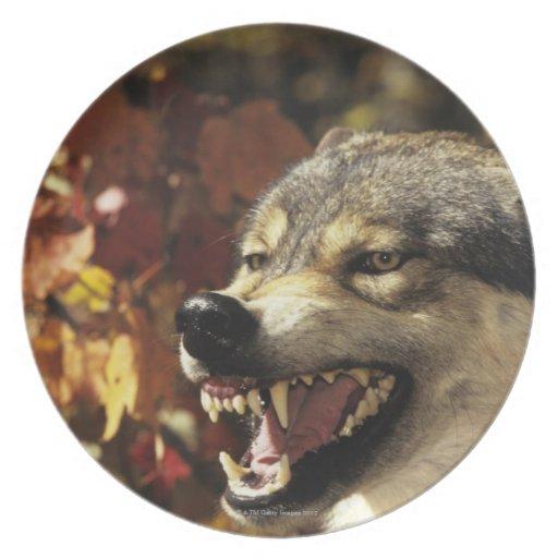 Lobo (lupus de Canis) que gruñe, headshot, con Platos De Comidas