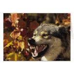 Lobo (lupus de Canis) que gruñe, headshot, con Tarjeton