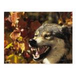 Lobo (lupus de Canis) que gruñe, headshot, con Tarjetas Postales