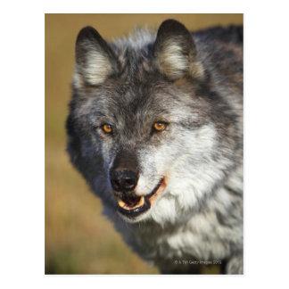 Lobo (lupus de Canis) Tarjeta Postal
