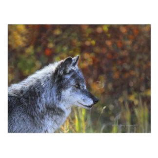 Lobo (lupus de Canis) Tarjetas Postales