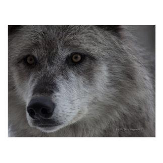 Lobo (lupus de Canus) del nacional de Yellowstone Postal