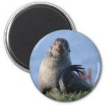 Lobo marino septentrional iman de nevera