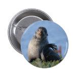 Lobo marino septentrional pin
