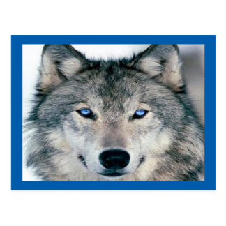 Lobo observado azul postales