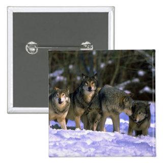 Lobo-paquete gris en el borde del bosque nevoso pin