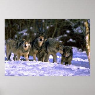 Lobo-paquete gris en el borde del bosque nevoso póster