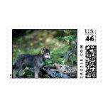 Lobo-pequeño perrito gris en maderas verdes franqueo