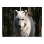 Lobo polar tarjetas postales
