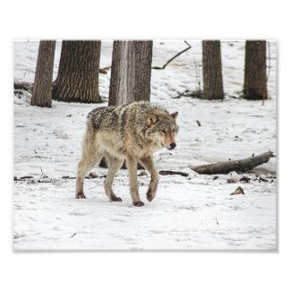Lobo que camina en las maderas Nevado Fotografía