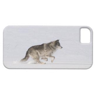 Lobo que corre en la nieve 2 iPhone 5 cárcasa