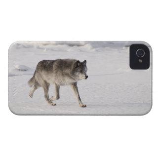 Lobo que corre en la nieve Case-Mate iPhone 4 fundas