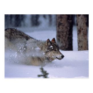 Lobo que corre en nieve postal