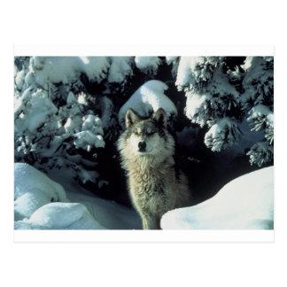 Lobo que se coloca en nieve postal