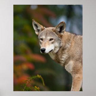 Lobo rojo poster