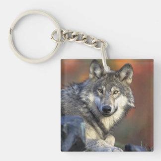 lobo salvaje llaveros