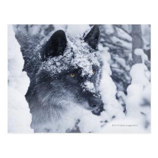 Lobo solitario en nieve postal