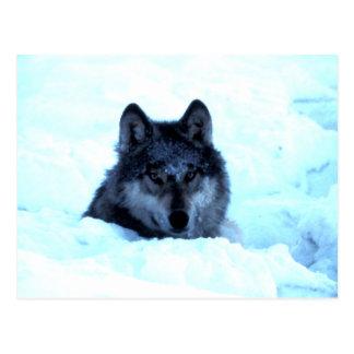 Lobos del lobo de la nieve postales