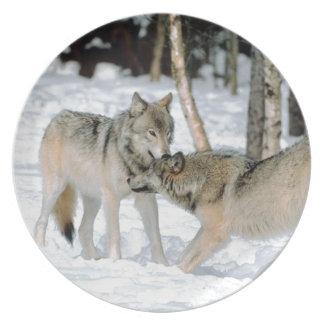 Lobos en placa fotográfica de la nieve plato de cena