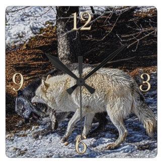 Lobos grises que luchan reloj cuadrado