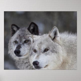 Lobos (lupus de Canus) de Yellowstone del oeste. E Posters