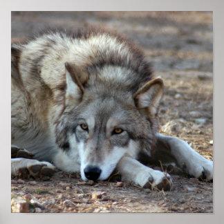 Lobos, poster del lobo gris