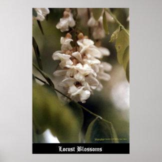 Locust Blossoms Print