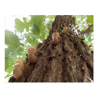 Locust Shells Card