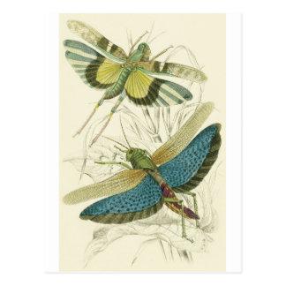 Locusta Cristata (lower), Locusta flava (upper) Postcard