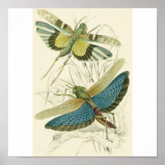 Locusta Cristata (lower), Locusta flava (upper) Poster