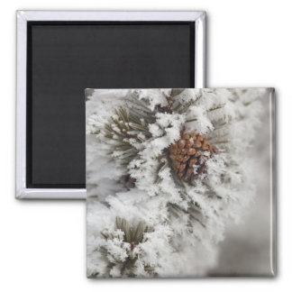 Lodgepole Pine cone in winter in Yellowstone 2 Inch Square Magnet