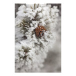 Lodgepole Pine cone in winter in Yellowstone Photo Print