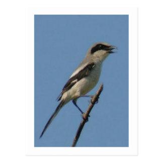Loggerhead Shrike Bird Postcard