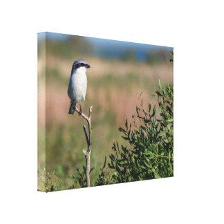 Loggerhead Shrike Canvas Prints