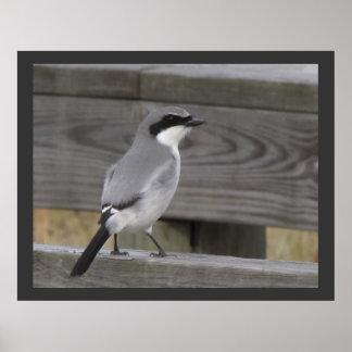Loggerhead Shrike - Close-Up Posters
