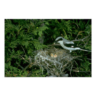 Loggerhead Shrike feeding young Print