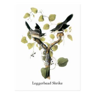 Loggerhead Shrike, John Audubon Postcard