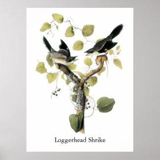 Loggerhead Shrike, John Audubon Print