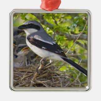 Loggerhead Shrike Lanius ludovicianus) adult Metal Ornament