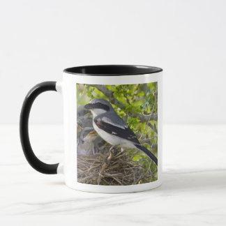 Loggerhead Shrike Lanius ludovicianus) adult Mug