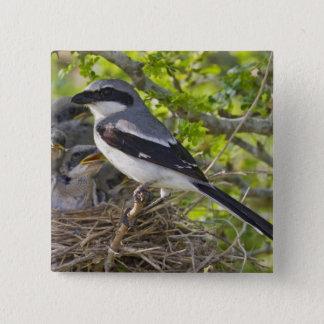 Loggerhead Shrike Lanius ludovicianus) adult Pinback Button