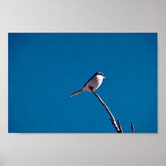 Loggerhead Shrike Posters