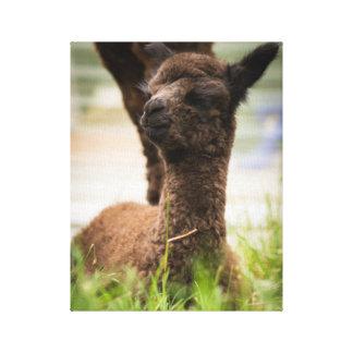 Lona de la alpaca del bebé lona envuelta para galerías