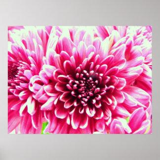 lona enorme de la flor del rosa del crisantemo poster
