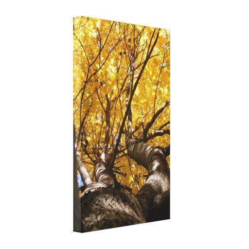 Lona envuelta ~ de oro del arce impresiones de lienzo