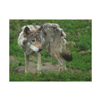 Lona envuelta del lobo gris impresion de lienzo