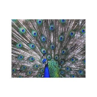 Lona envuelta pavo real orgulloso impresión en lienzo
