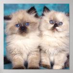 Lona linda del gatito posters