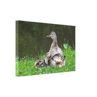 Lona: Pato silvestre y anadones Impresión De Lienzo